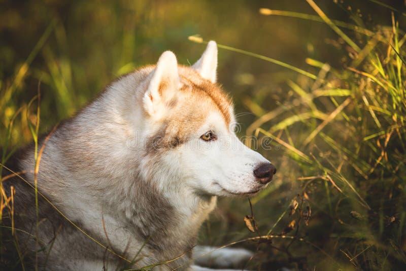 Profielportret van het leuke en prideful hondras Siberische Schor stellen in de herfst op een heldere bosachtergrond royalty-vrije stock foto