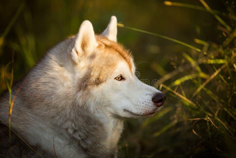 Profielportret van het mooie en prideful hondras Siberische Schor stellen in de herfst op een heldere bosachtergrond royalty-vrije stock fotografie