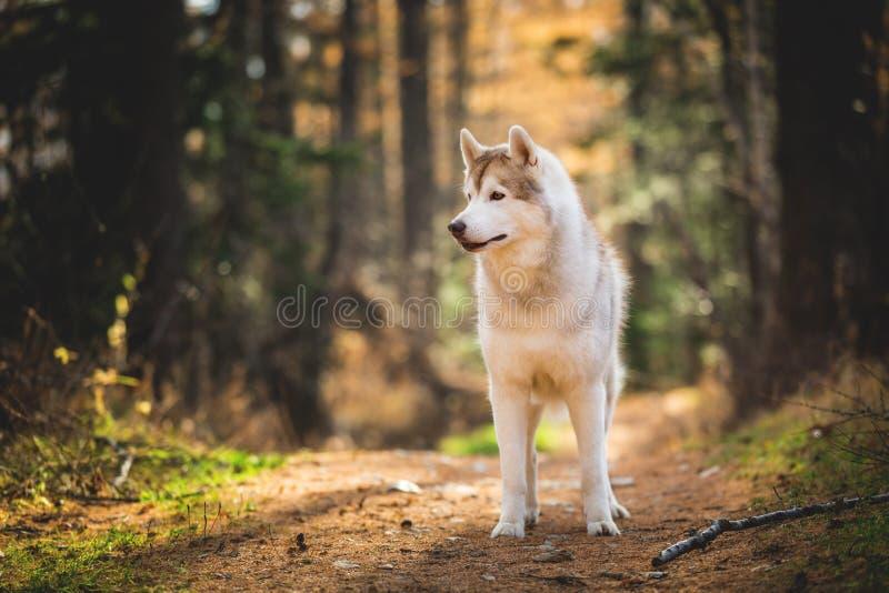 Profielportret van mooie, aandachtige en prideful Beige en witte hondras Siberische Schor status in de heldere herfst royalty-vrije stock fotografie