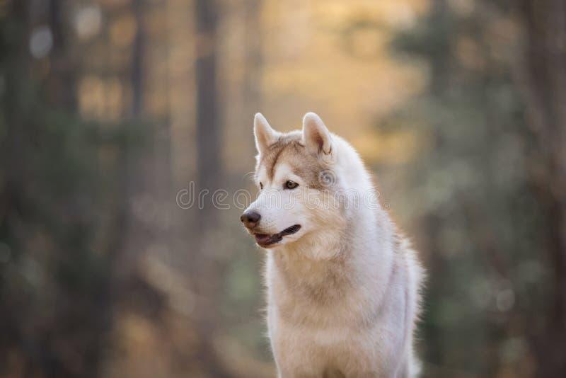 Profielportret van schitterend en prideful Beige Siberisch Schor de zittings in de herfst bos van het hondras bij zonsondergang stock foto's