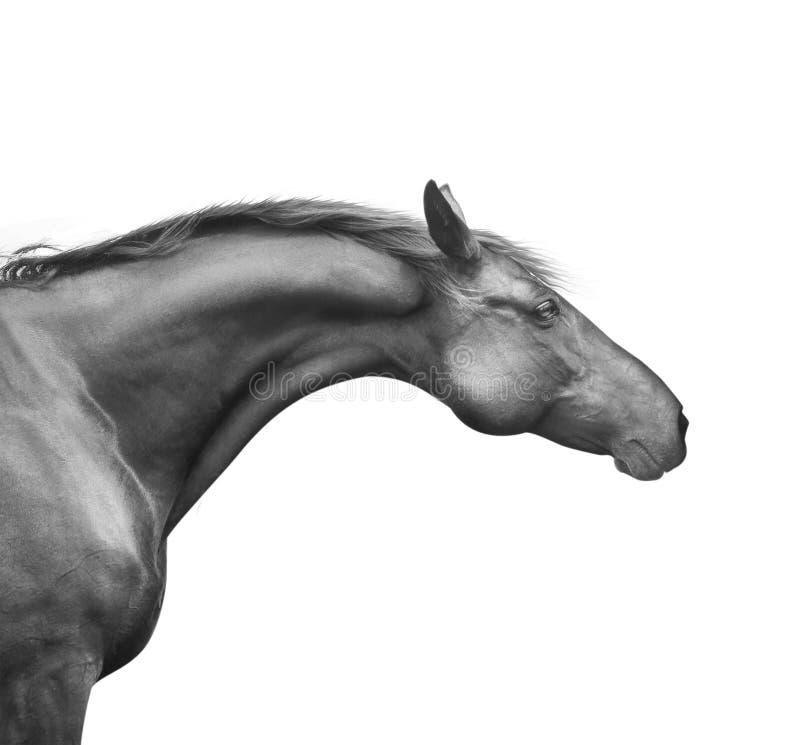 Profielportret van zwart paard met goed die hals en hoofd, op wit wordt geïsoleerd stock afbeeldingen