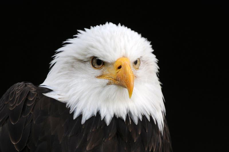 profil łysego orła obraz royalty free