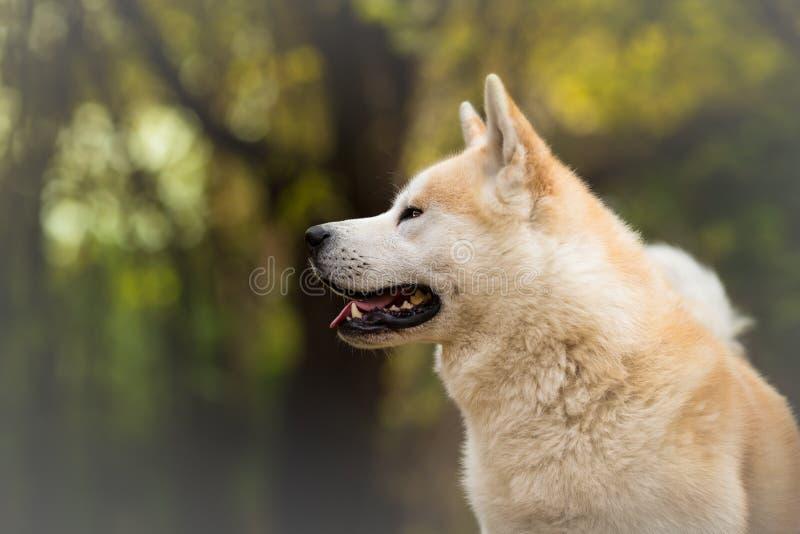 Profil av Akita Inu fotografering för bildbyråer