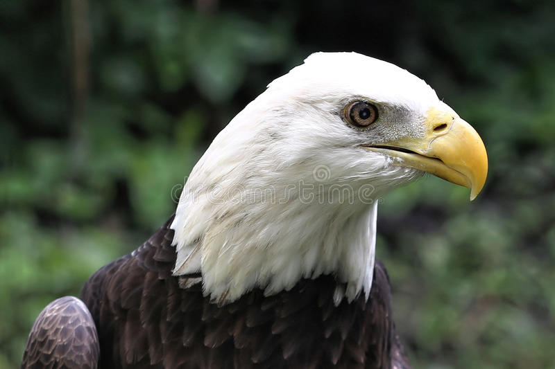 Profil av amerikanska skalliga Eagle royaltyfria bilder
