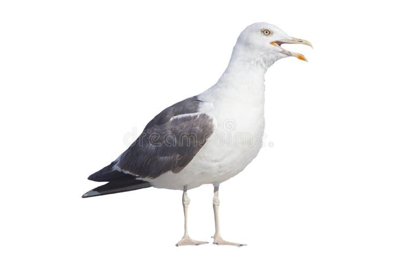 Profil av den ilskna seagullen på vit bakgrund royaltyfria bilder