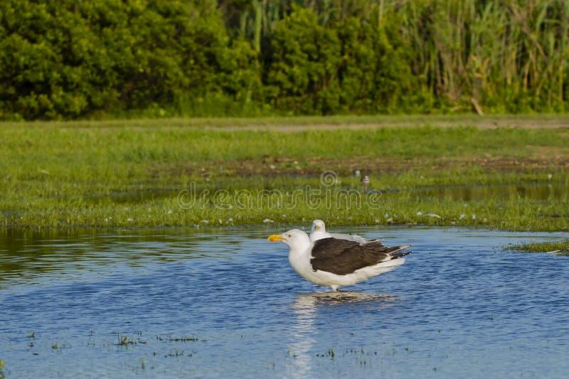 Profil av den stora Svart-drog tillbaka fiskmåsen som står i dammet royaltyfri bild