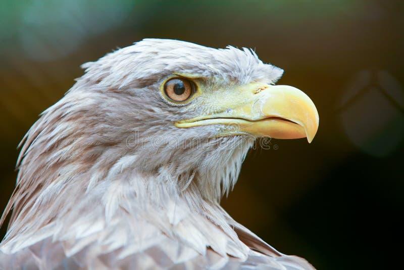 Profil av den vit tailed örnen fotografering för bildbyråer