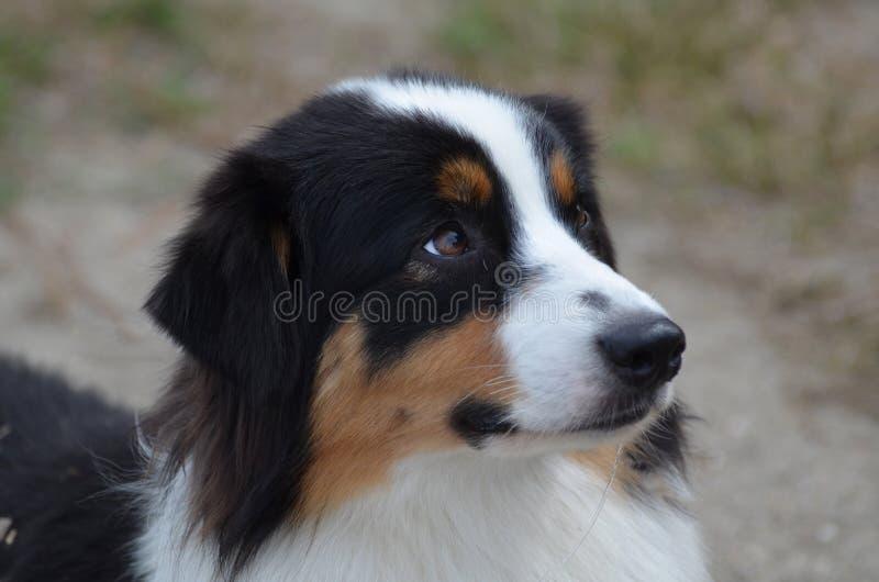 Profil av en australisk herde Dog royaltyfri fotografi