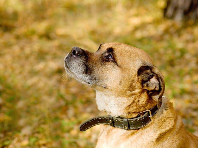 Profil av en blandad avelhund på en parkera arkivbilder
