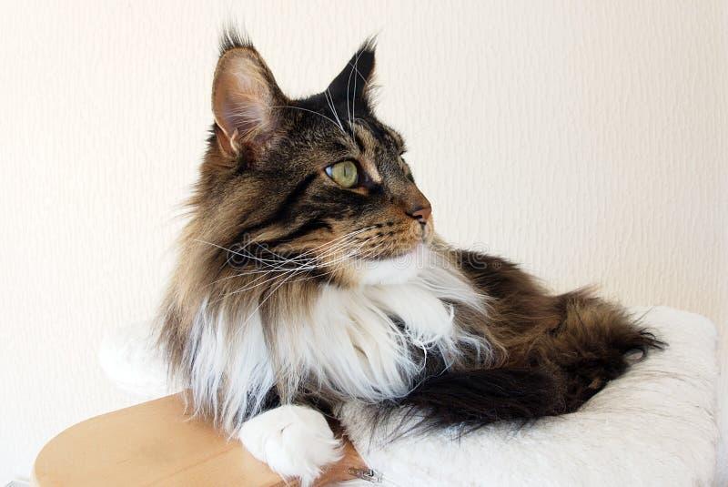 Profil av en brun strimmig katt med den vita Maine Coon katten arkivbild