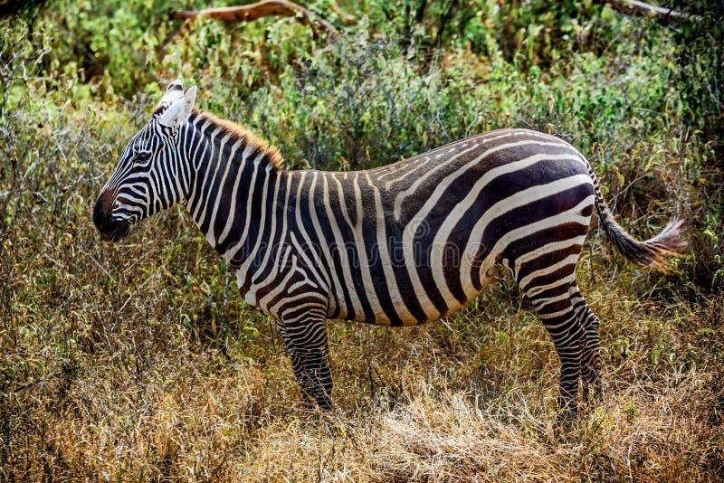 Profil av en härlig Grevy sebra i Kenya, Afrika royaltyfria foton