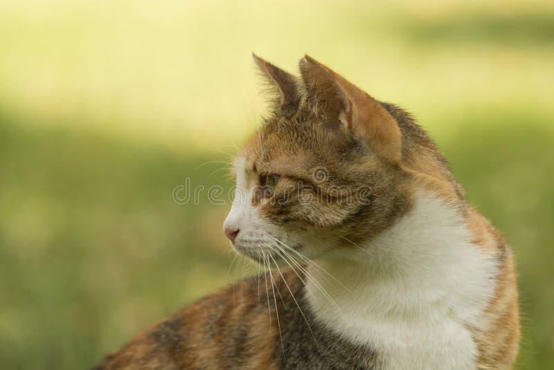 Profil av en trevlig tillfällig kalikåkatt med kort päls som tillbaka ser fotografering för bildbyråer