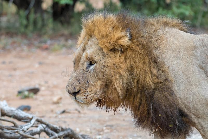 Profil av ett scarred manligt lejon royaltyfri bild