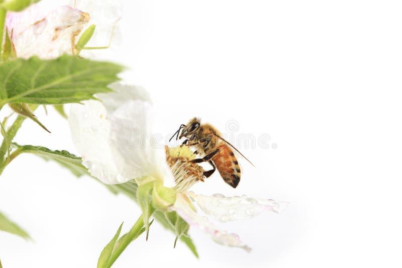 Profil av Honey Bee Blackberry Flower royaltyfri fotografi
