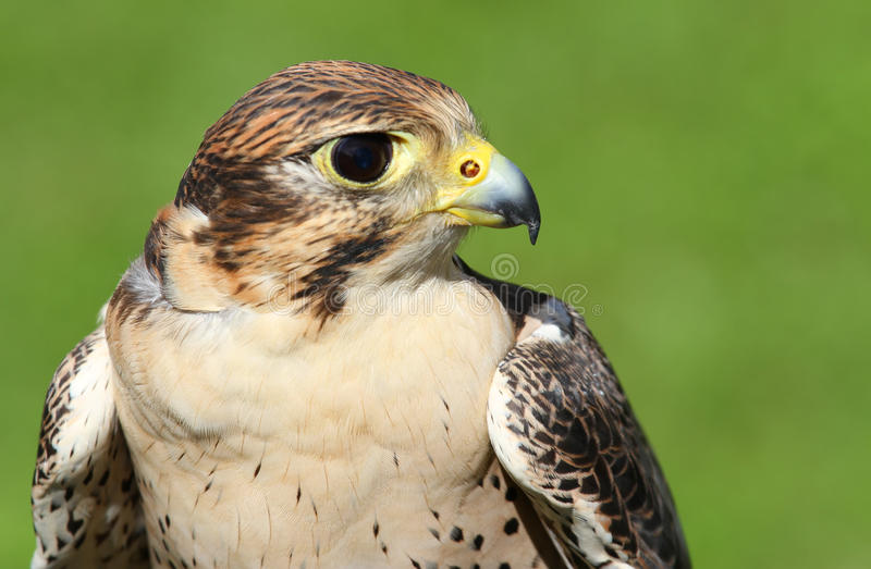 Profil av Peregrine Falcon med den gula näbb royaltyfri bild
