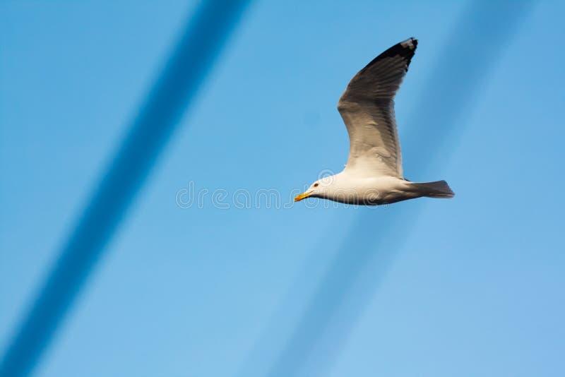 Profil av seagullen med vingarna som lyfts upp arkivfoto