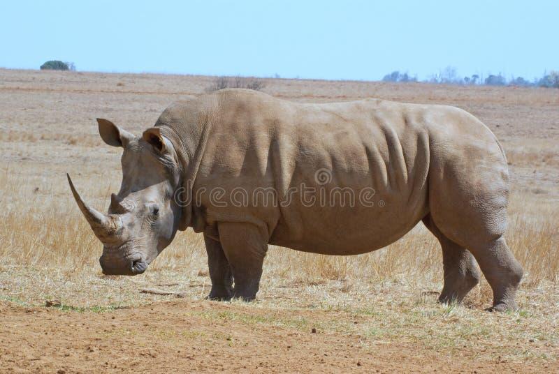 Profil blanc africain de côté de rhinocéros photos libres de droits