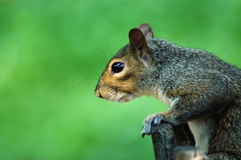 Profil d'écureuil photographie stock libre de droits