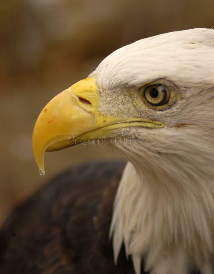 Profil d'aigle image libre de droits