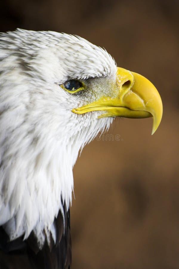Profil d'aigle chauve images libres de droits