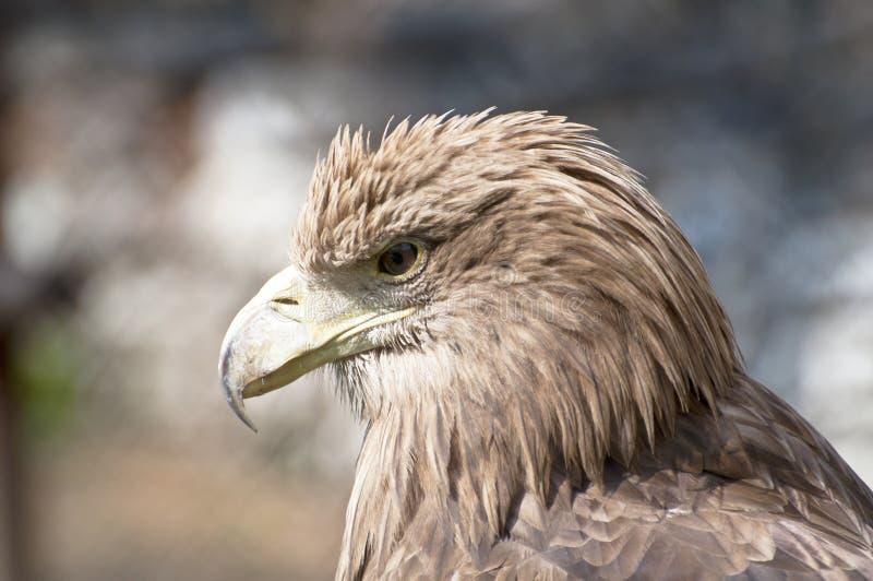 Profil d'aigle de Brown photographie stock libre de droits