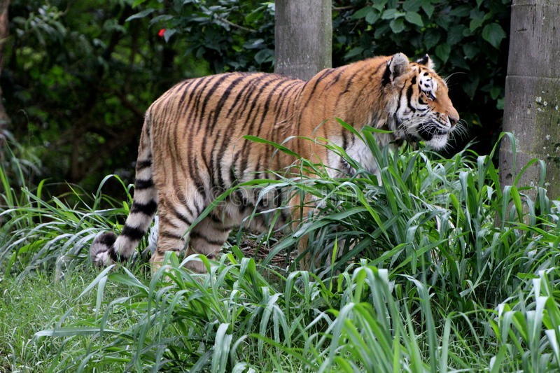 Profil d'altaica du Tigre de Panthera dans le zoo image libre de droits