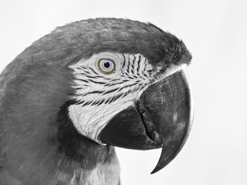Profil d'ara photographie stock libre de droits