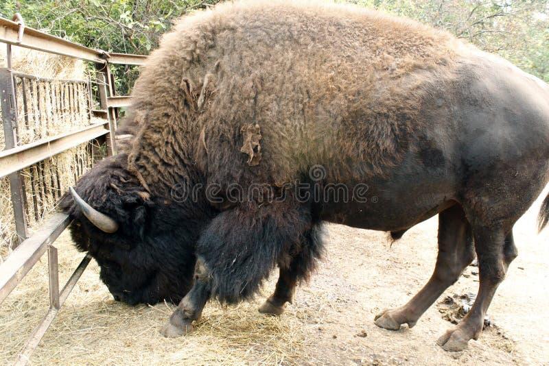 Profil d'un bison américain en captivité, frôlant image libre de droits