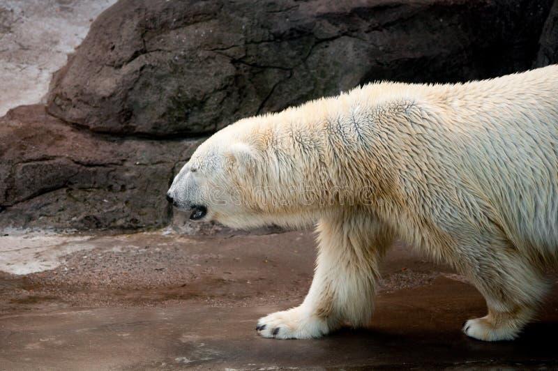 Profil d'un ours blanc de marche photographie stock