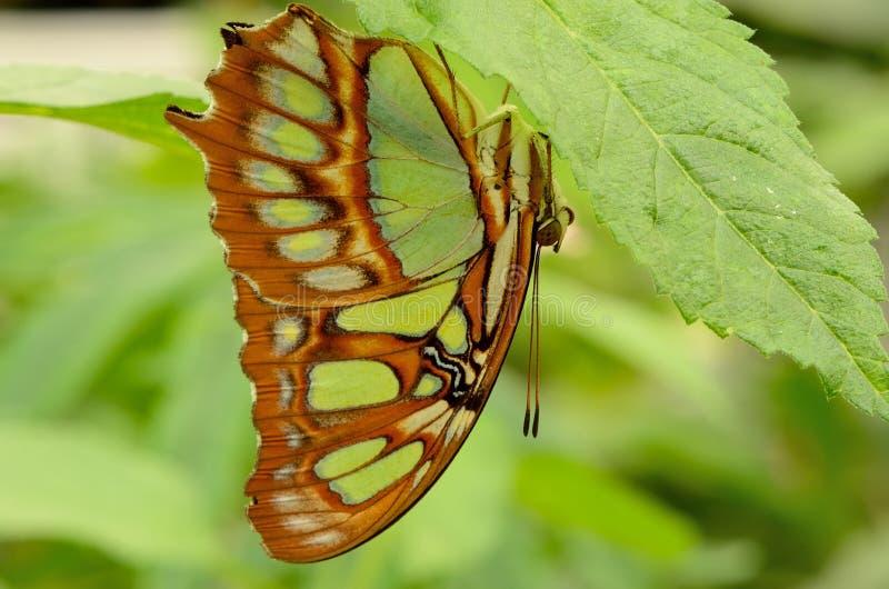 Profil d'un papillon sur une feuille photos libres de droits