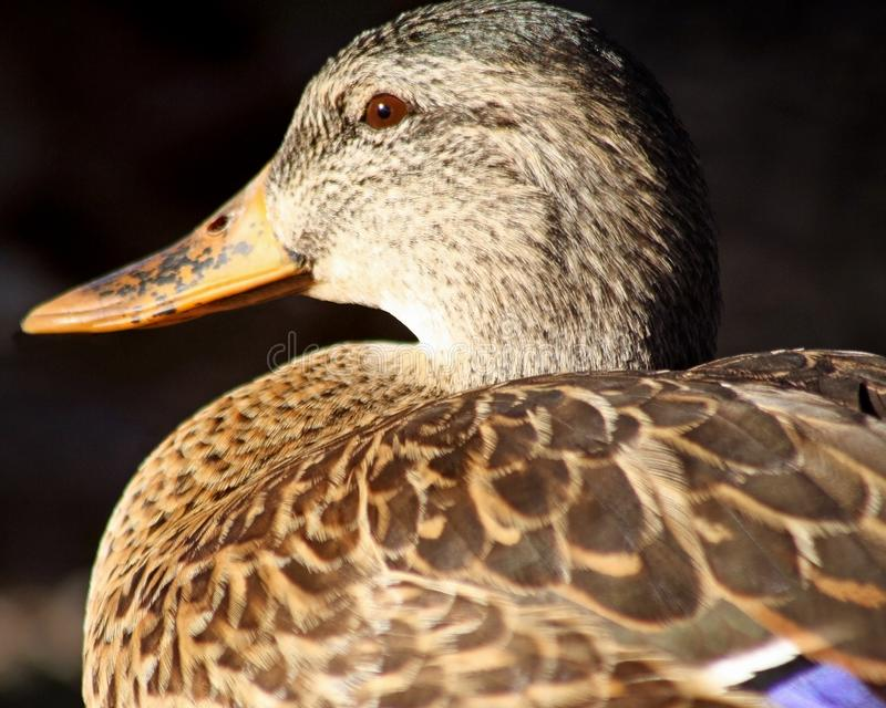 Profil d'une poule de canard de Mallard image stock