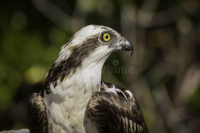 Profil de balbuzard photographie stock libre de droits