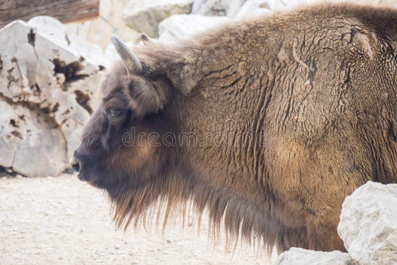 Profil de côté de Bison Buffalo d'Américain photo stock