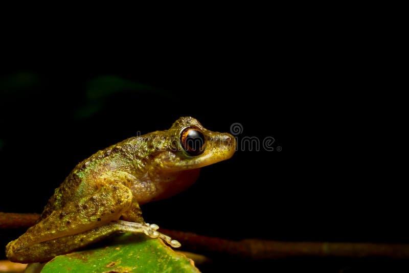 Profil de côté de grenouille de brume images libres de droits
