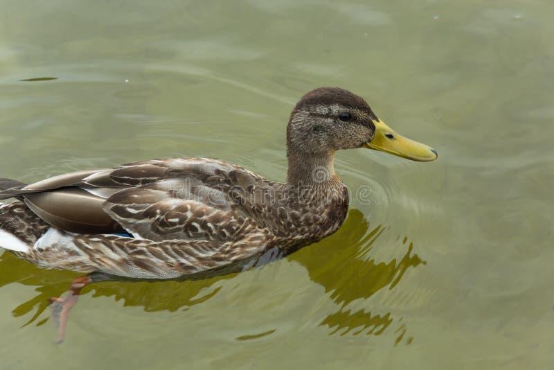 Profil de canard femelle de canard - plan rapproché image libre de droits