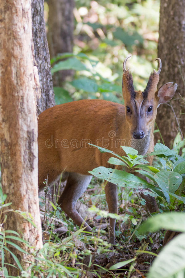 Profil de cerfs communs de Brking photo stock