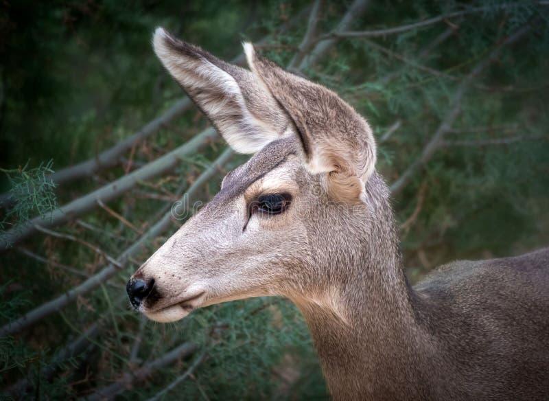 Profil de cerfs communs de mule de tête image stock