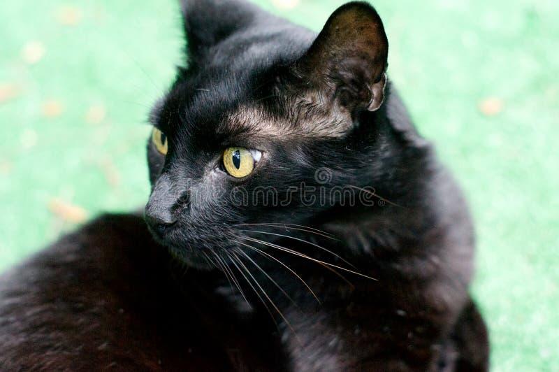 Profil de chat curieux de brun de la Havane photographie stock