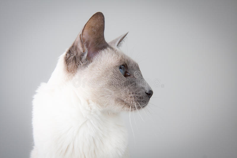 Profil de chat siamois sur le gris image libre de droits