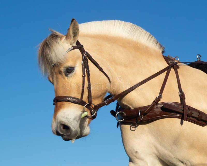 Profil de cheval de chariot de fjord image libre de droits