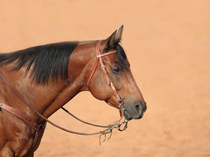 Profil de cheval quart images libres de droits