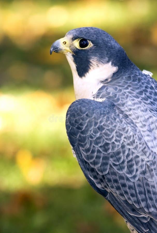 Profil de faucon pérégrin (peregrinus de Falco) photos stock