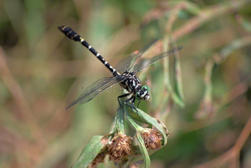 Profil de forcipatus d'Onychogomphus de libellule photographie stock