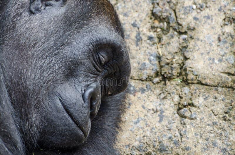 Profil de gorille de silverback de sommeil photo libre de droits