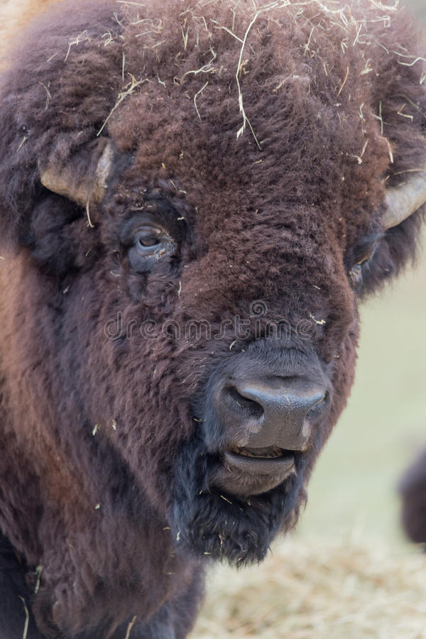 Profil de grand Buffalo américain de champ photographie stock
