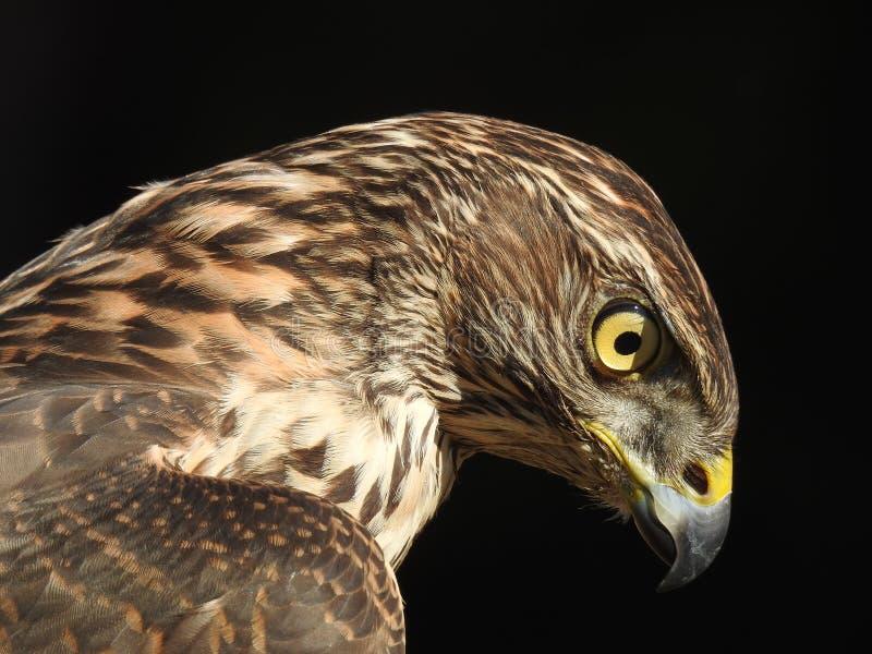 Profil de l'oiseau le plus bel au monde images stock
