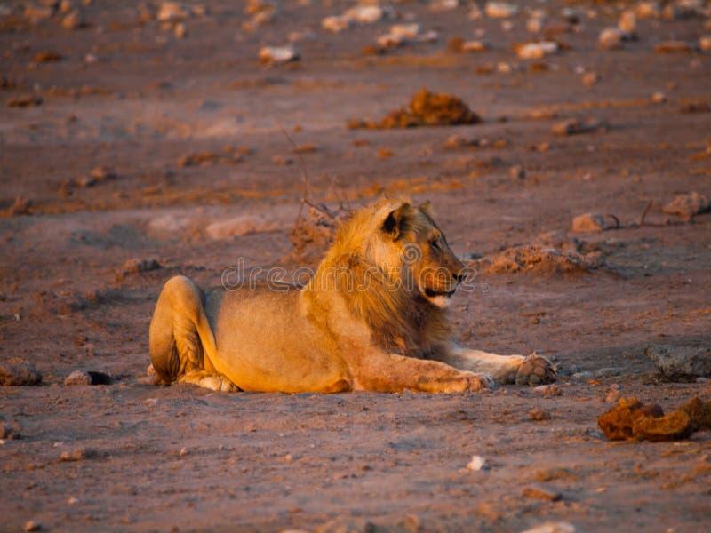 Profil de lion images stock