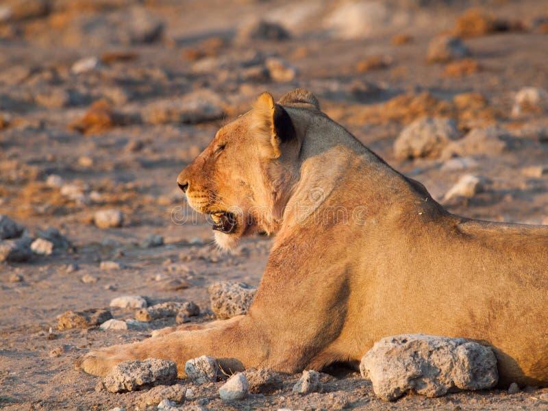Profil de lion photos libres de droits