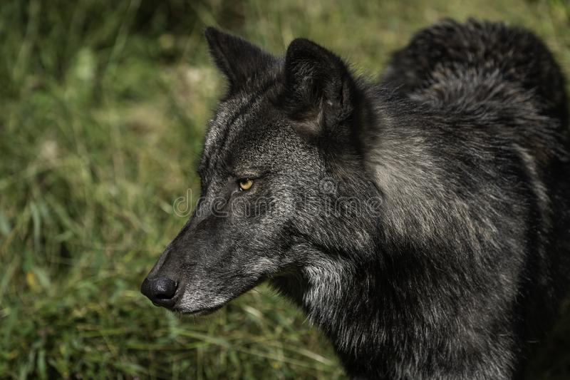 Profil de loup de bois de construction noir photo stock