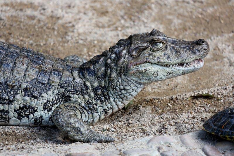 Profil de Melanosuchus Niger photos stock